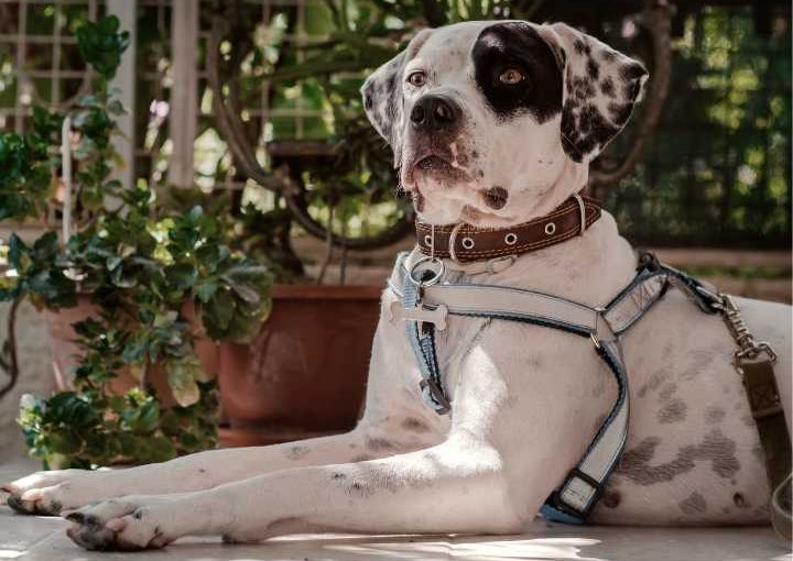 Pup with large no-pull dog harness