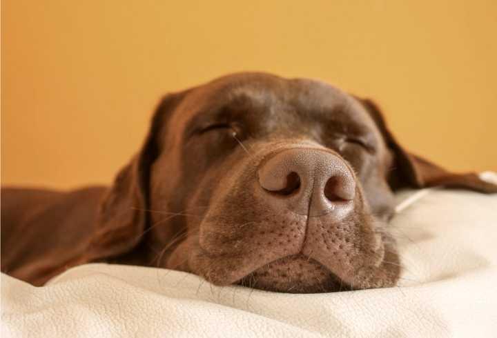 Sleeping dog dreaming