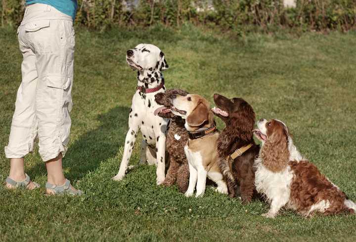 Alert migraine dogs in training