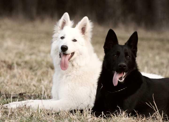 White swiss shepherd and black German shepherd dog
