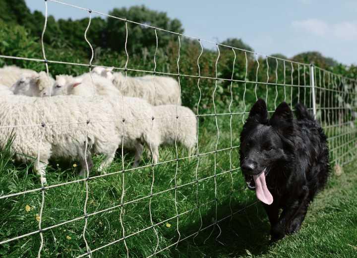 Black German shepherd herding sheep