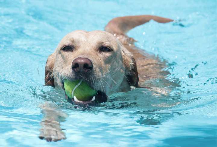 Labrador swimming in pool