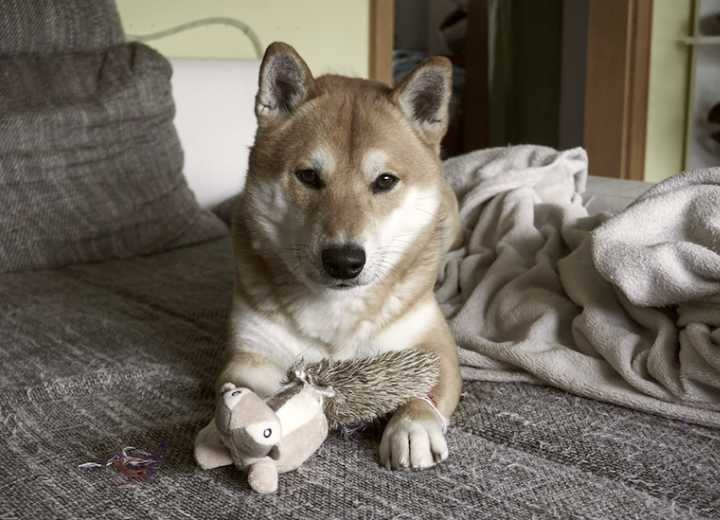 Young dog distracted with toy